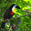 Beautiful toucan sitting on the branch