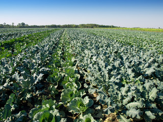 cabbage and kohlrabi field