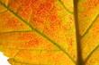 Herbstblatt : Nahaufnahme | autumn leaf detail