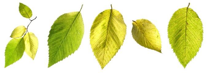 Ostrya carpinifolia | Gemeine Hopfenbuche | Hop Hornbeam
