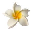 fleur plastique de frangipanier blanc sur fond blanc