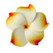 fleur plastique de frangipanier rose sur fond blanc