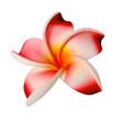 fleur synthétique de frangipanier rose sur fond blanc