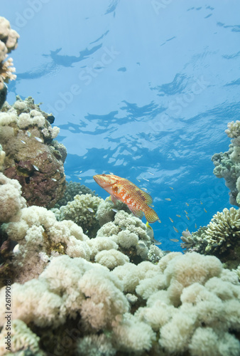 Sixspot grouper on a tropical coral reef.