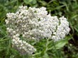 yarrow herb blooming