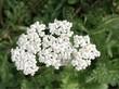 yarrow herb blooming