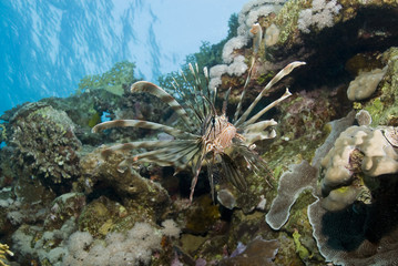 Common Lionfish on a tropical coral reef.