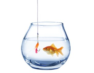 gold fish and artificial fly