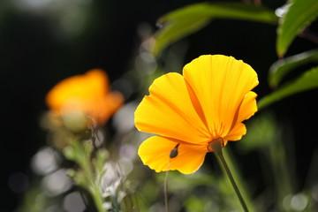 Eschscholzia californica, Kalifornischer Mohn