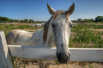 cavallo camargue hdr
