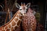 Reticulated Giraffe close up poster
