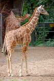 Reticulated Giraffe full size vertical poster