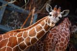 Reticulated Giraffe watching poster
