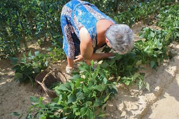 vecchia contadina che raccoglie ortaggi nell'orto
