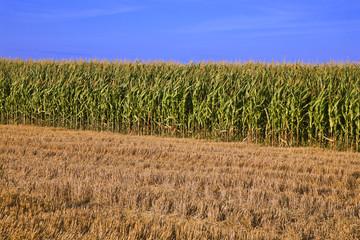 france; 85; marais poitevin : champs de maïs;