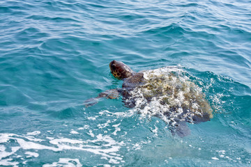 The Loggerhead Sea Turtle (Caretta caretta) - swimming in waters