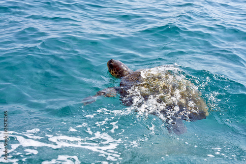 The Loggerhead Sea Turtle (Caretta caretta) - swimming in waters