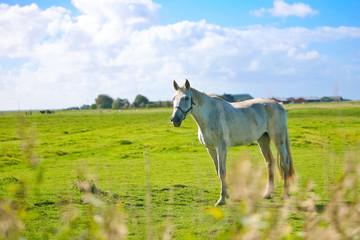 cheval blanc dans un champ