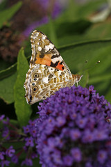 Distelfalter (Vanessa cardui) auf Buddleja - Painted Lady