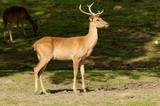 Burmese Brow Antlered Deer poster