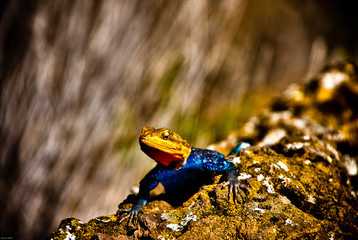 Blue and Orange Lizard