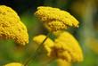 Blüten der Gold-Schafgarbe
