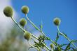 Blüten der Kugeldistel