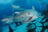 Reef shark with broken jaw, smile poster