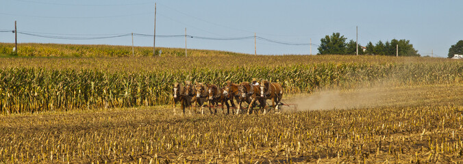 Amish Farmer plowing the field with 7 horses