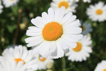 Weiße Margerite Blume