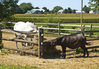 Ponies in an Amish Farm, Lancaster USA
