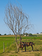 Two Horses in the Amish Farm, Lancaster USA