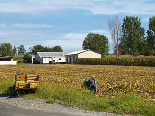 Amish Farmer harvesting corn