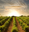 Leinwanddruck Bild - rows of vines to sunset
