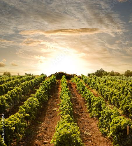 Leinwanddruck Bild rows of vines to sunset