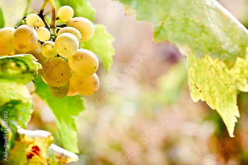 Beautiful juicy fruit in the vineyard - Grapes in the vineyard
