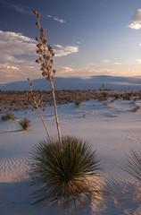 Yuccas 1