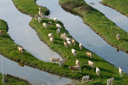 vue aérienne d'un troupeau de vaches dans le bocage