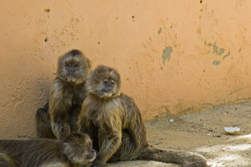 Three Capuchin Weeper Monkeys Cebus Olivaceus