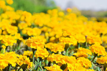Yellow tagetes flowers at meadow