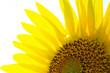 Leinwanddruck Bild - Sunflower
