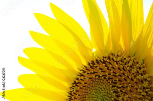 Leinwanddruck Bild Sunflower