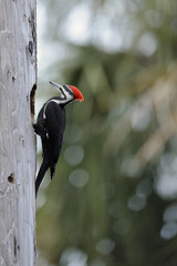 pileated woodpecker making a nest hole