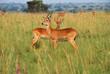 Reedbuck antelopes
