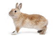 Brown Rabbit in front of white background