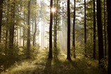 Fototapety Sunbeams entering into forest on a misty morning