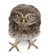 Young owl standing in front of white background