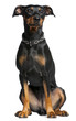 German pinscher, 2 years old, sitting