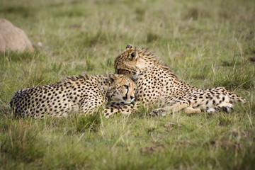 Cheetah cubs preening one anther