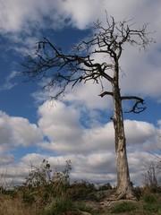 Lonely dry pine tree